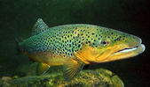 Underwater photo of The Brown Trout (Salmo Trutta) in a mountain lake. — Stock Photo