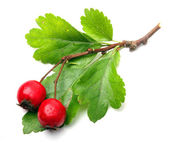 Crataegus oxyacantha - Hawthorn. The total complex of plant constituents is considered valuable as a remedy for those with circulatory and cardiac problems. — Stock Photo