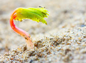 Young seedling growing in a Sahara desert sand. — Stock Photo