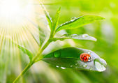 Tea tree (Thea sinensis). Little ladybug on the leaves of a green tea. — Stock Photo
