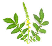 The Common agrimony (Agrimonia eupatoria) used as a cure for male impotence, disorders of the kidneys, liver and bladder, insomnia, and for irritable bowel syndrome. — Stock Photo