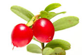 The Cranberry (Vaccinium vitis-idaea) has been used as an astringent, disinfectant.antise ptic, a diuretic, and treat breast cancer, diabetes mellitus, rheumatism, and various urogenital conditions. — Stock Photo