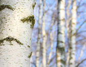 Birch forest. Betula pendula (Silver Birch) Birch resin is used in the pharmacy and cosmetics industry (hair conditioner). — Stock Photo