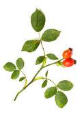 Rosa canina - pies rose.the roślina jest wysoki w przeciwutleniacze, niektórych. owoc jest zauważyć, dla poziomu wysoki witaminy c i jest używany do zrobić syrop, herbaty i marmolady. — Zdjęcie stockowe