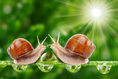 Edible snail (Helix pomatia). — Stock Photo