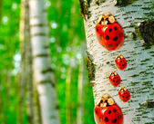 Ladybugs family in Birch forest. Betula pendula (Silver Birch) Birch resin is used in the pharmacy and cosmetics industry (hair conditioner). — Stock Photo