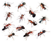 Big red ant in different position on white background. — Stock Photo