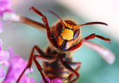 Close-up of a live European Hornet (Vespa crabro) — Stock Photo