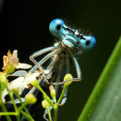 Blue dragonfly on a grass - funny portrait — Stock Photo