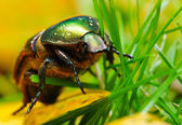 Rose chafer ( Cetonia aurata) on a meadows - macro — Stock Photo