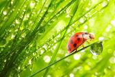 Biedronka na świeży liść zielony. — Zdjęcie stockowe