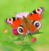 Peacock Butterfly (Inachis Io) on a Bushy Aster (Aster Dumosus). Typical autumn scenery. — Stock Photo