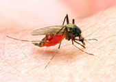 The Anopheles mosquito dangerous vehicle of infection. — Stock Photo