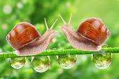 Love-making snails couple on a dewy grass. Love metaphor. — Stock Photo