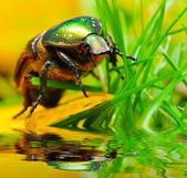 Rose chafer ( Cetonia aurata) on a meadows — Stock Photo