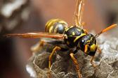 The Yellow Jacket Wasp. — Stock Photo