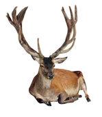 Deer - Cervus elaphus- isolated on white background — Stock Photo