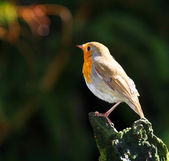 The European Robin (Erithacus rubecula) — 图库照片