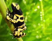 The poison dart frog Dendrobates leucomelas. — Stock Photo