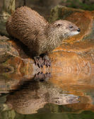 Eurasian Otter in ZOO Prague - Czech Republic Europe — Stock Photo