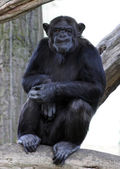 Portrait of a adult chimpanzee in Zoo Pilsen - Czech Republic - Europe — Stock Photo