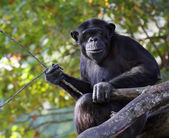Portrait of a adult chimpanzee with pripmitive tool in Zoo Pilsen - Czech Republic - Europe — Stock Photo