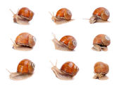 Collection of a garden snails (Helix aspersa) in different position. Snails provide an easily harvested source of protein to many people around the world. — Stock Photo