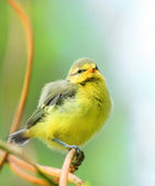 The Blue Tit (Cyanistes caeruleus) young birdie. — Stock Photo