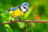 The Blue Tit (Cyanistes caeruleus). — Zdjęcie stockowe
