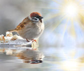 Fatty House Sparrow ( Passer domesticus ) on a full bird table over a garden pond. — Stock Photo