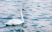 The Mute Swan or Wild Swan (Cygnus olor) on a sea level. — Stock Photo