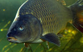 The Common Carp (Cyprinus Carpio). — Foto Stock