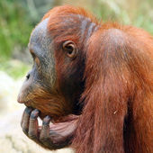 Looking orangutan in ZOO Prague - Czech Republic Europe — Stock Photo