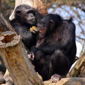 The Chimpanzee. — Stock Photo
