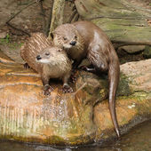 Two Eurasian Otter in ZOO Prague - Czech Republic Europe — Stock Photo