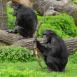 Stock Photo: Two funny chimpanzees
