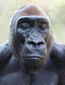 The Gorilla portrait — Stock Photo