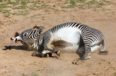 Zebra rolling in the dust — Stock Photo