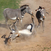 Picture of The Zebra rolling in the dust. Antiparasitic dust bath — Stock Photo