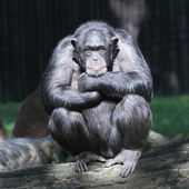 Worried Chimpanzee — Stock Photo