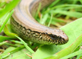 The Slow Worm or Blind Worm — Stock Photo