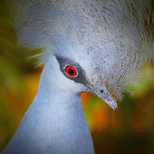 The Victoria Crowned Pigeon — Stock Photo