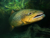 Underwater photo of The Brown Trout — Stock Photo