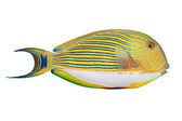The Clown Surgeonfish — Stock Photo
