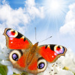 The Peacock butterfly on a wild cherry blossom against blue sky. — Stock Photo