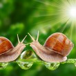 Love making snails couple on a dewy grass. — Stock Photo #33577523