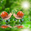 Love making snails couple on a dewy grass. — Stock Photo #33577545