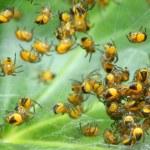 Rare photography. Nest of newborn Wasp Spiders (Argiope bruennichi) — Stock Photo #33577649