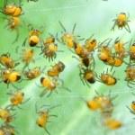 Rare photography. Nest of newborn Wasp Spiders (Argiope bruennichi) — Stock Photo #33577659