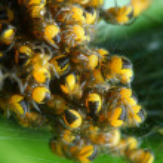 Rare photography. Nest of newborn Wasp Spiders (Argiope bruennichi) — Stock Photo #33577689